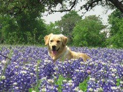 Dog In Bluebonnet Field