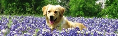 Dog in Bluebonnet Field in Pasture