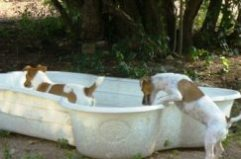 Jack Russell Terriers in Wading Pool